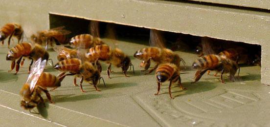 Bienen vor einem Bienenstock