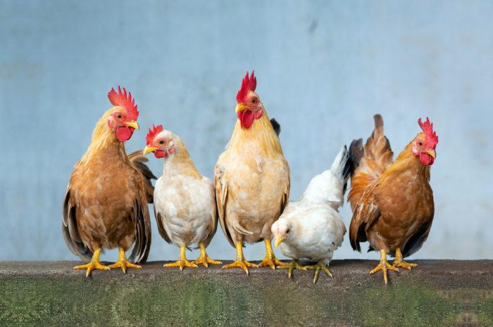 Singapur genehmigt Chicken-Nuggets aus dem Bioreaktor
