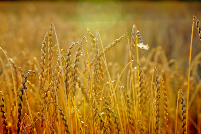 Dinkel: Herkunft, Qualität und Unterschiede zu Weizen